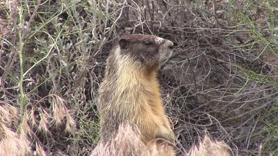 Marmot Footage