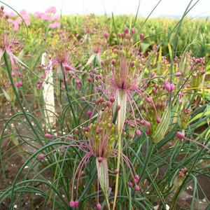Allium huber-morathii.jpg