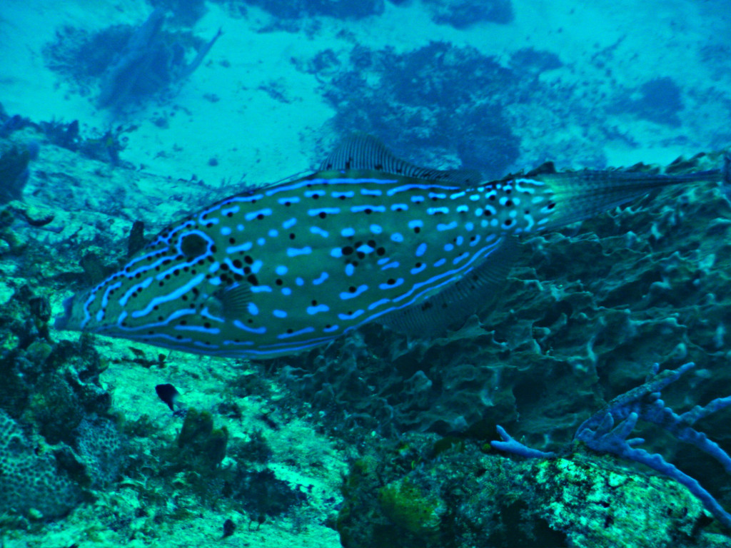 Scrawled Filefish. Diving with Pepe. Cozumel Mexico.