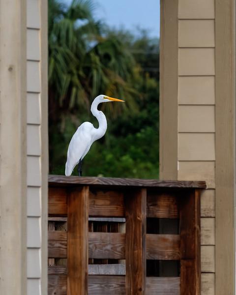 Great White Egret-223.jpg