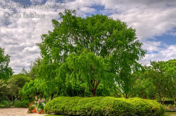 Taxodium mucronatum 'Sentido' (Weeping Montezuma Cypress)
