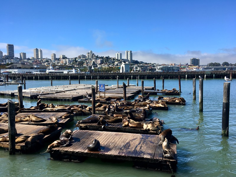September 2, 2019: Sea lions of Pier 39