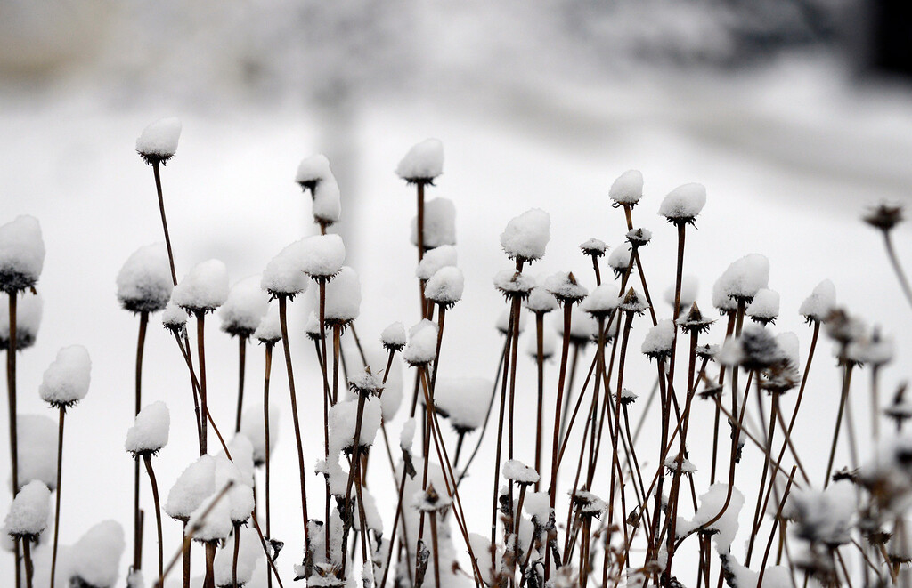 . Maribeth Joeright/MJoeright@News-Herald.com Snow on coneflowers at Lake Metroparks Penitentiary Glen.