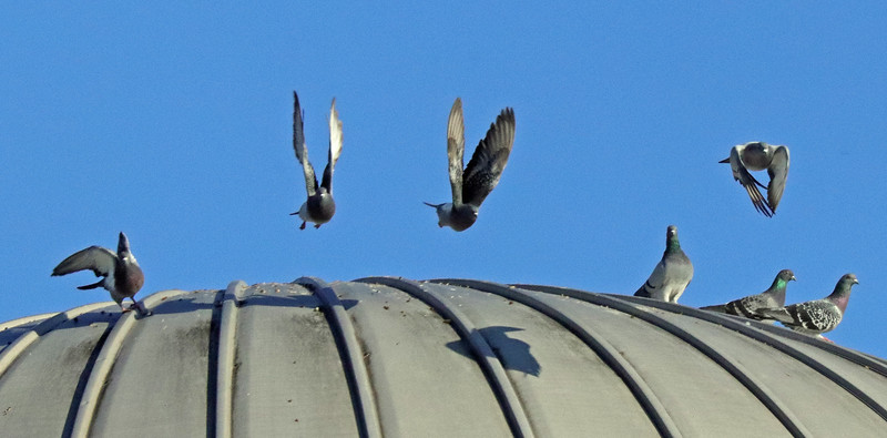 7 more pigeons