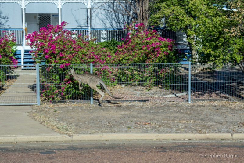 A roo in Longreach, Queensland.