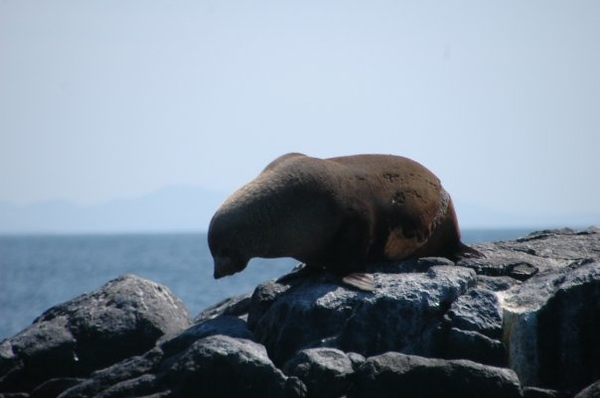 Seal on the rocks at Narooma