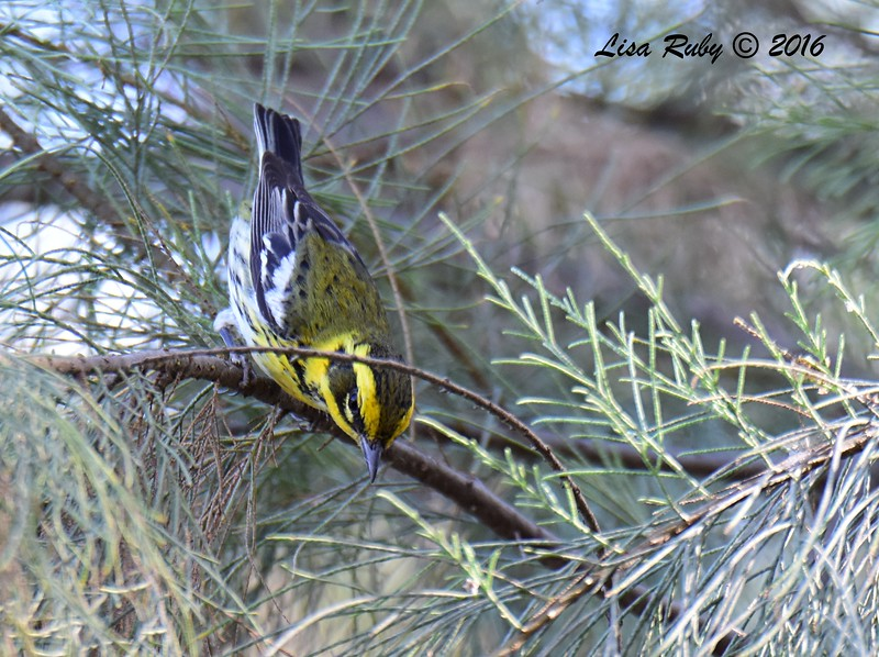 Townsend's Warber - 11/13/2016 - Bird and ButterflyGarden
