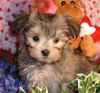 2004 MALTIPOO Sold Photo and Videos