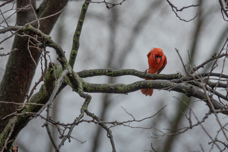 cardinal-3.jpg