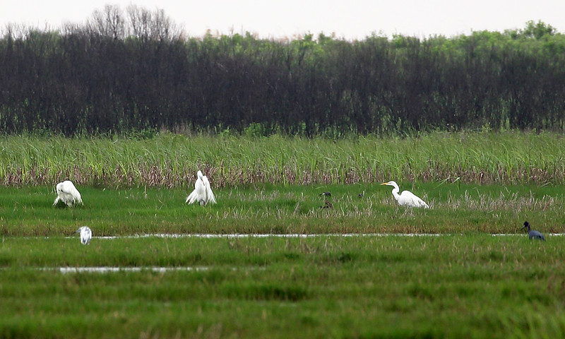 Egrets, Snowy and Reddish, dot the far fields.