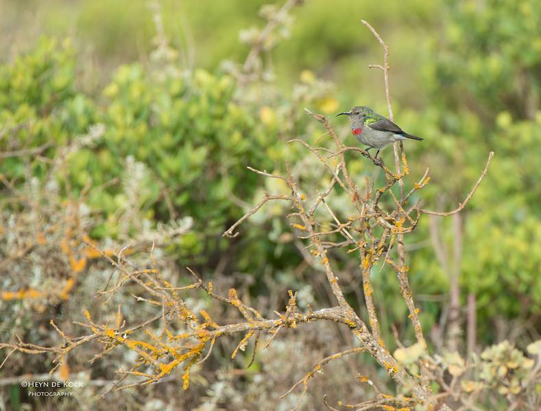 Lesser Southern Double-collared Sunbird, West Coast NP, WC, SA, Jan 2014.jpg