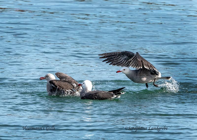 _DSC2419Heermann's Gulls.jpg