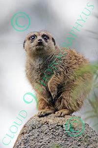 Meerkat Wildlife Photography