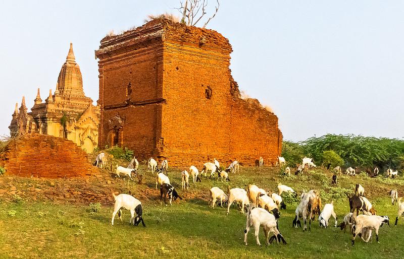 Goats in Bagan