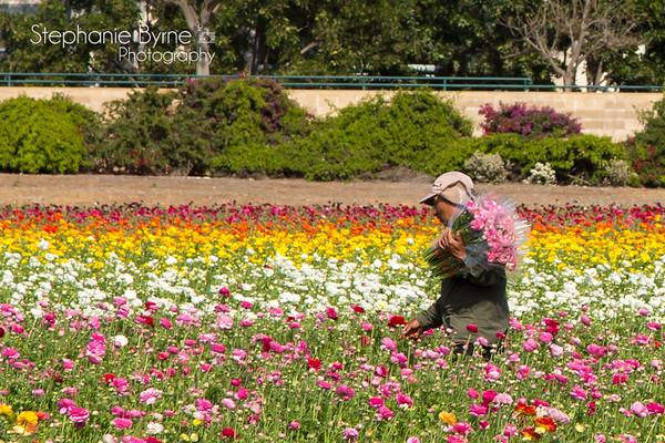 The Flower Fields | Carlsbad, California