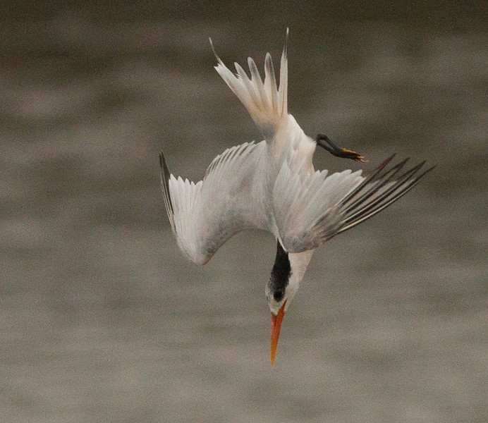 Elegant Tern  San Elijo Lagoon 2012 09 13 (4 of 6).CR2