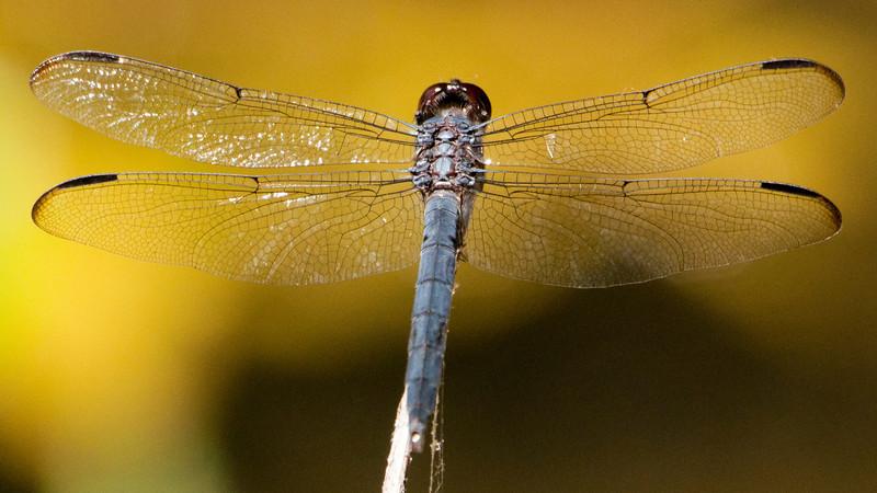Slaty Skimmer (Libellula incesta) Dragonfly