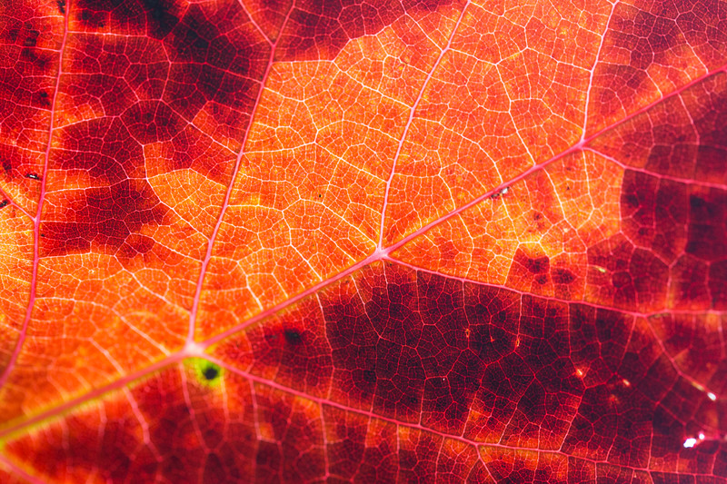 red-autumn-leaf-structure-background-picjumbo-com.jpg