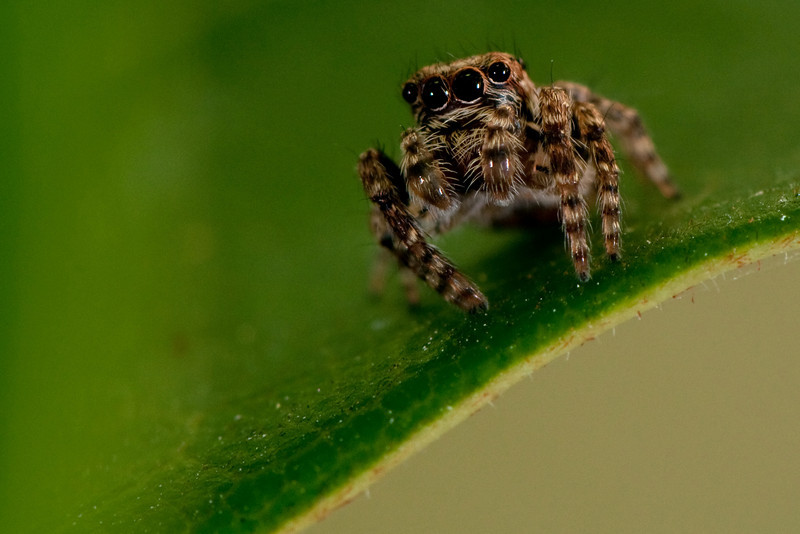 annuver jumping spider
