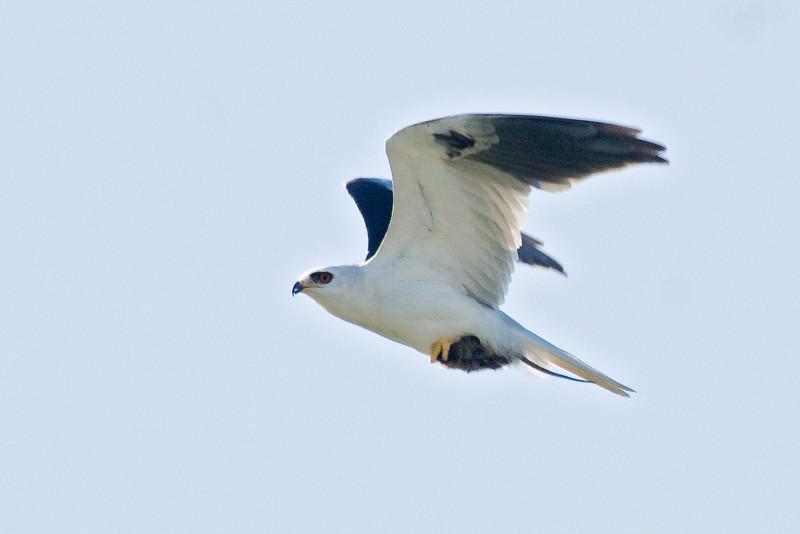 Kite - White-tailed - Overstreet Road - Osceola County, FL