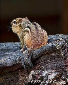 Chipmunks and Squrrels