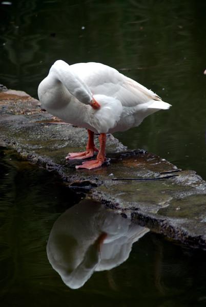 Pruning swan.jpg