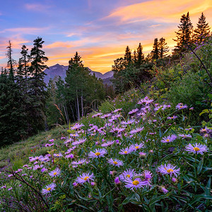 Wild Flowers, Crested Butte, Colorado