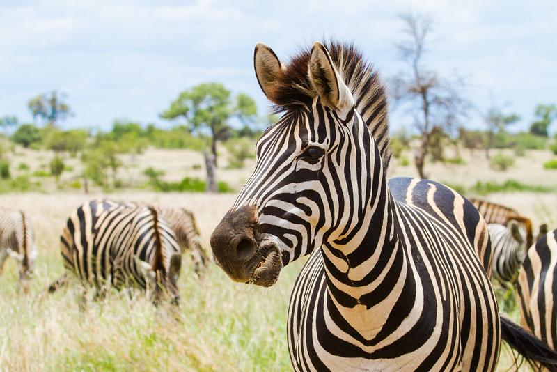 Zebra Proxima