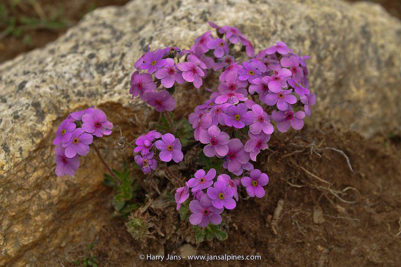 Androsace mariae