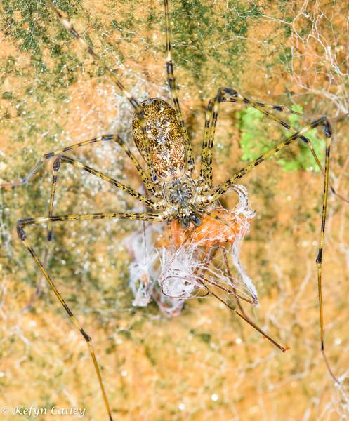ARANEAE: Hypochilidae: Hypochilus pococki, lampshade spider female feeding on opilionid