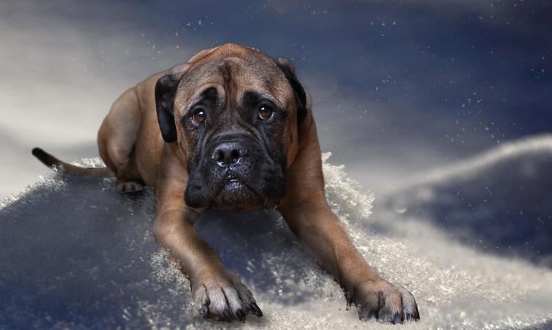 Mastif-lr5.jpg