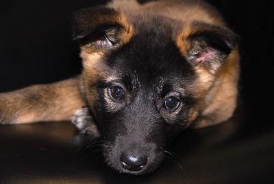 Pet Portrait Photography - Ginger - Dog - German Shepherd mix - Anchorage - Alaska - USA
