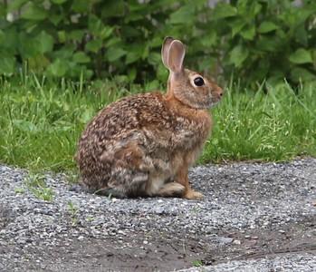 Rabbit, Bunny, My House, Dutch Hill, Tamaqua (5-29-2014)