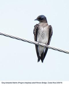 Gray-breasted Martin A83306.jpg