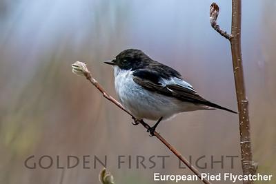 European Pied Flycatcher, Liminka Bay Oulu, Finalnd