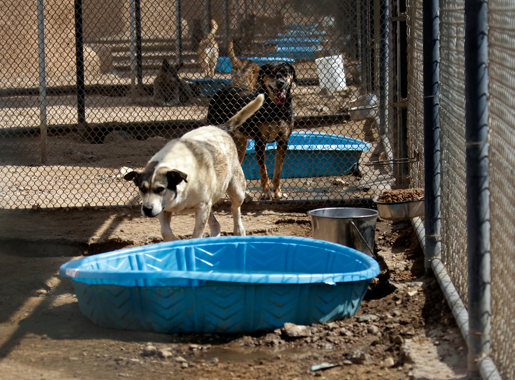 . Dogs have water in pools at Leo Grillo\'s DELTA (Dedication & Everlasting Love to Animals) Rescue complex in Acton, Calif.  Aug. 29, 2013.  (AP Photo/Reed Saxon)