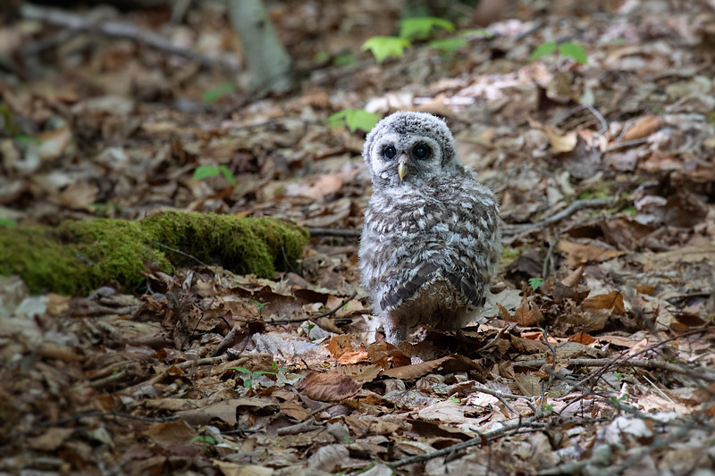 #1184 Barred Owlet