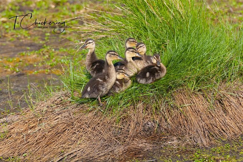 Mallard Ducklings Three.jpg