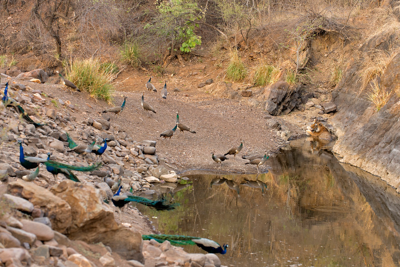 Peafowls and Tiger in a waterhole in Ranthambore