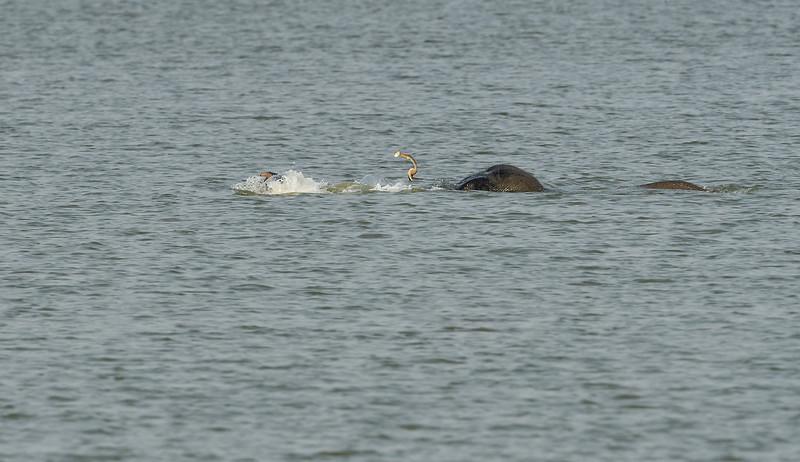 Elephant-swimming-across-lake-kaziranga-11-2.jpg