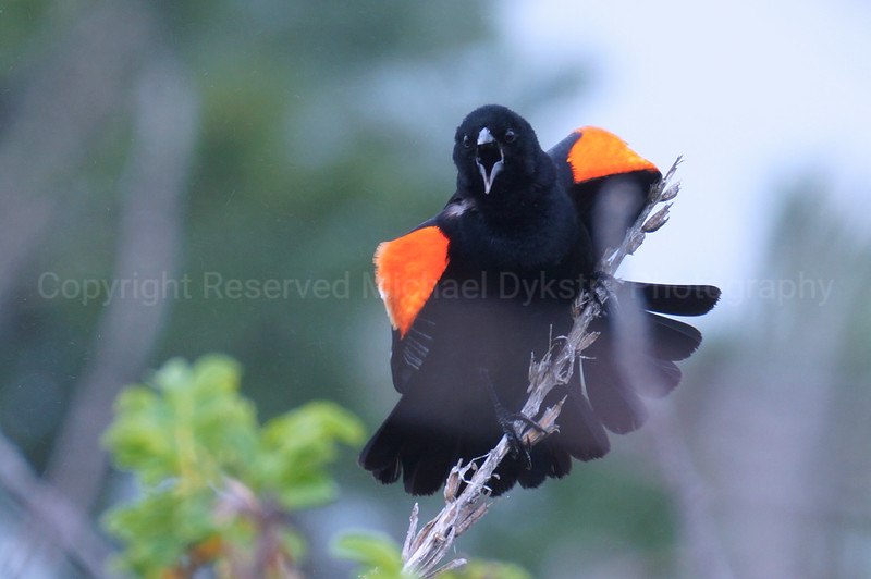 Red-winged Black Bird.jpg