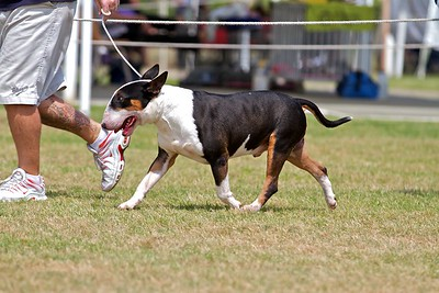 .Other Bull Terriers