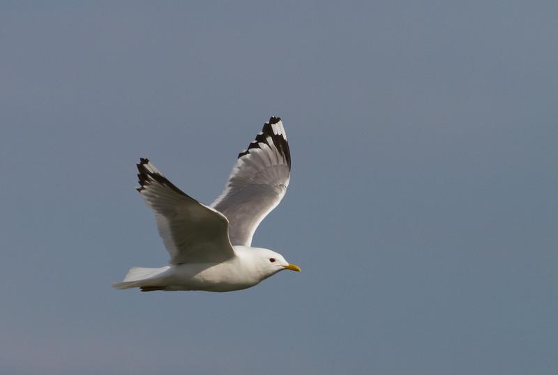 Mew Gull in flight - Anchorage, AK, USA