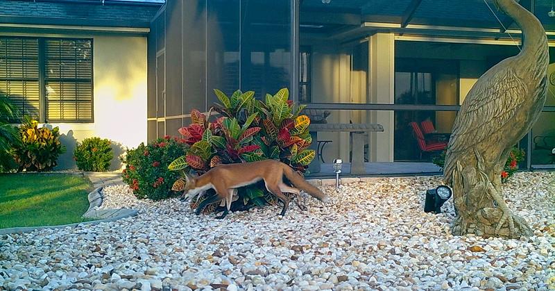 1_3_20 Red Fox passing through our backyard.JPG