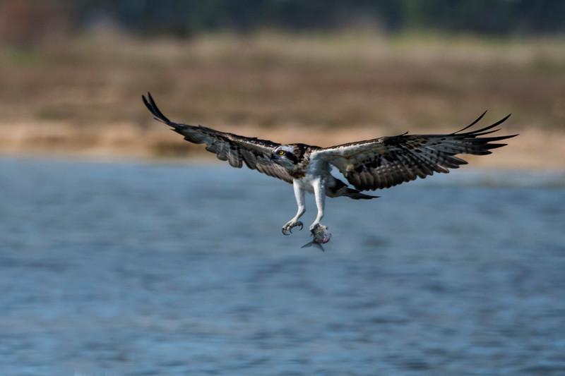 falco pescatore_MSN2892.jpg