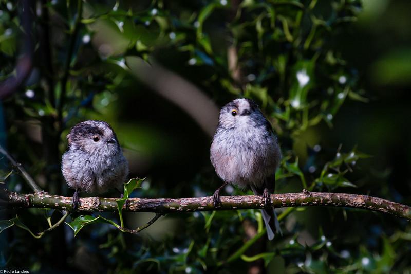 Tweedledee and Tweedledum - 2