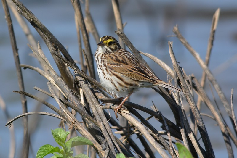 Savannah Sparrow.JPG