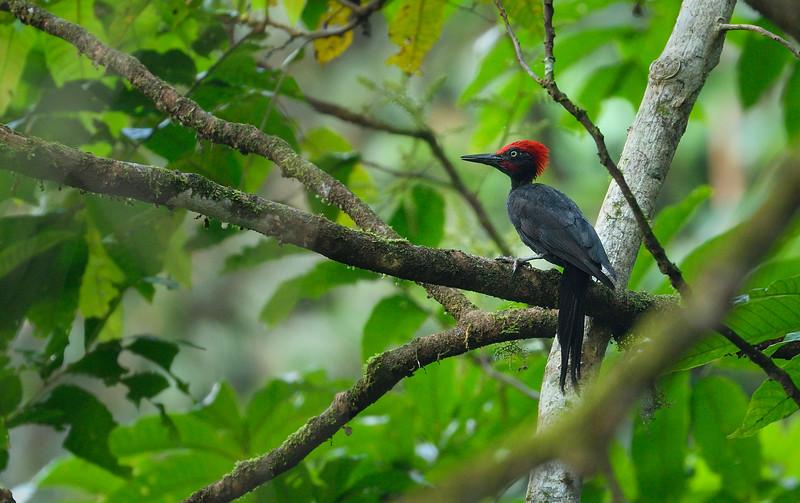 Andaman-woodpecker.jpg