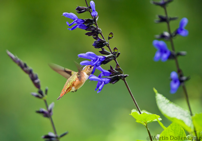 "Rufous Hummingbird hitting the ""Black and Blue"""