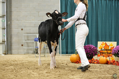 Autumn Opportunity Holstein Show 2018